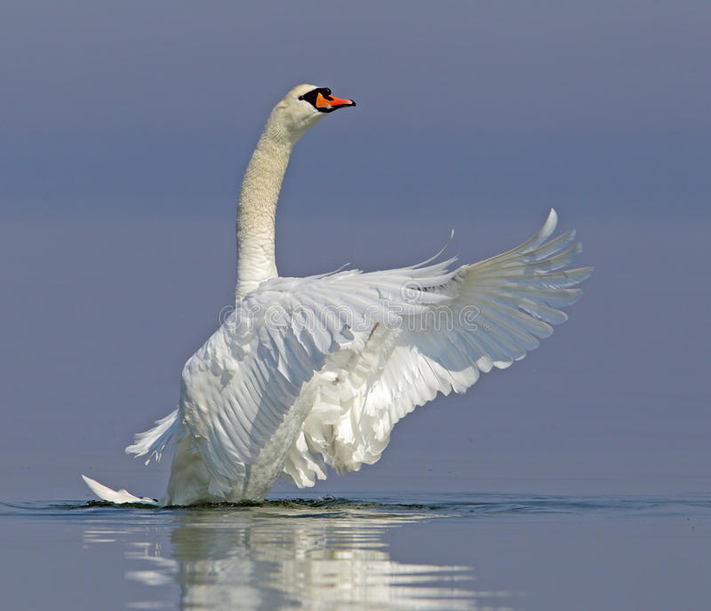 Mute swan. Flapping its wings royalty free stock photography