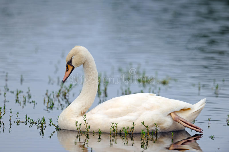 Download Mute Swan Royalty Free Stock Photography - Image: 21038087