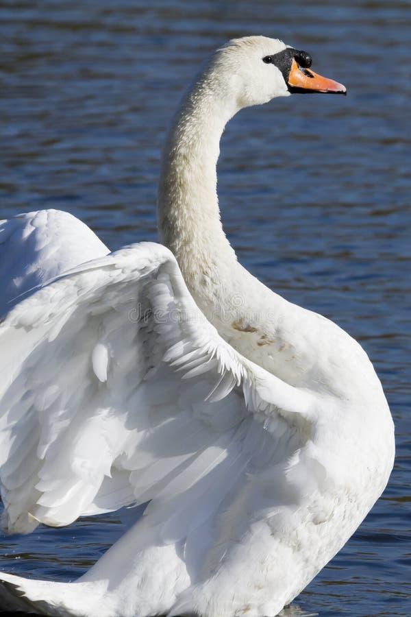 Download Mute Swan stock image. Image of mute, blue, england, lake - 22976295