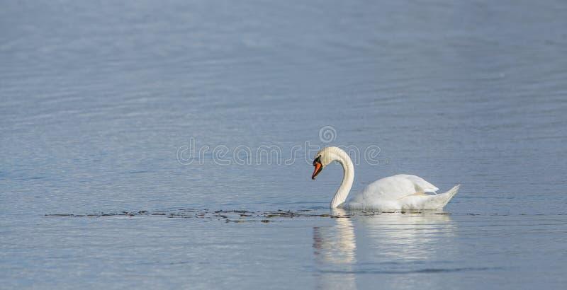 Download Mute Swan stock image. Image of detailed, bird, distinction - 28208507