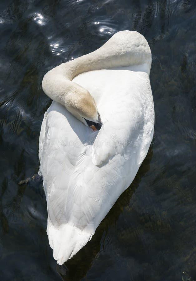 Free Mute Swan Stock Photo - 52045700