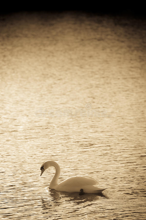 Mute Swan Abstract royalty free stock images