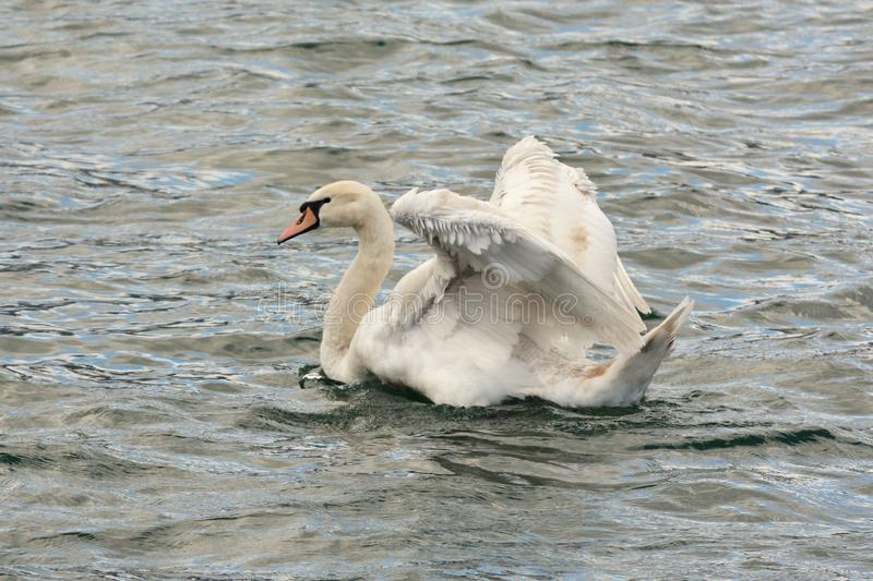 The mute swan in all its beauty royalty free stock photo