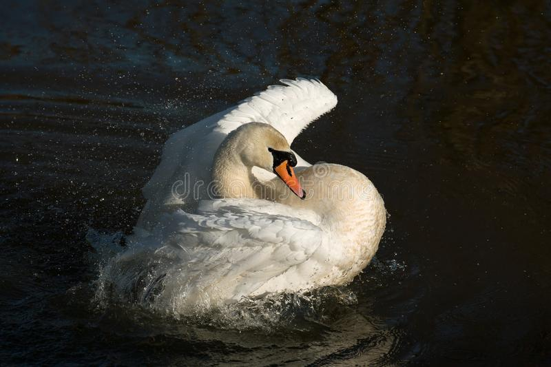 Mute Swan Bathing in River royalty free stock images