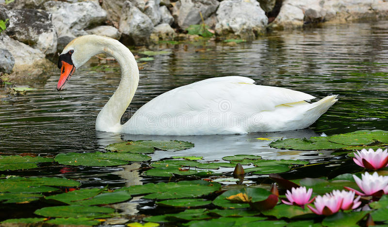 Mute Swan. Beautiful Mute Swan relaxing in a water garden with blooming pink water lilies stock photography
