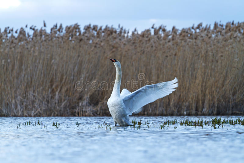 Mute swan on blue lake flutters royalty free stock photos