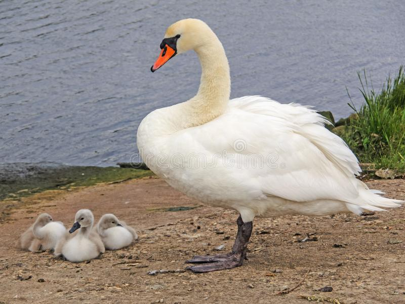 Mute swan with chicks stock photos