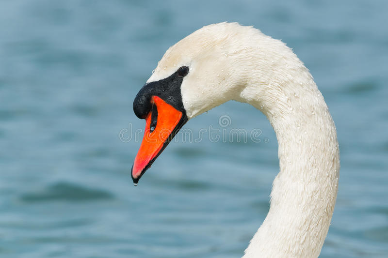 Mute Swan. Close-up of a Mute Swan stock photos