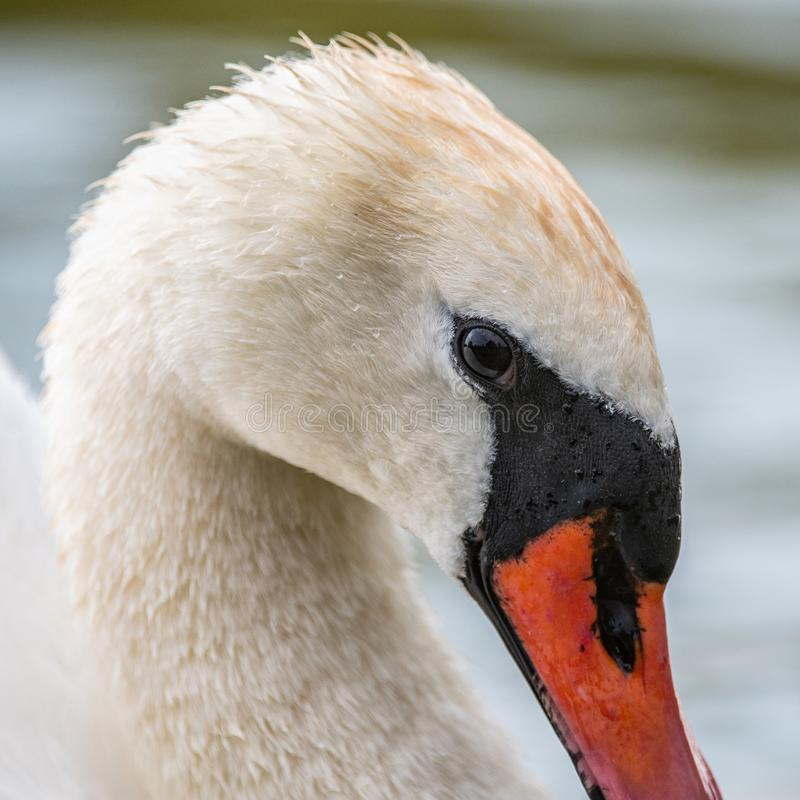 Mute Swan, close up portrait, Cygnus olor royalty free stock images