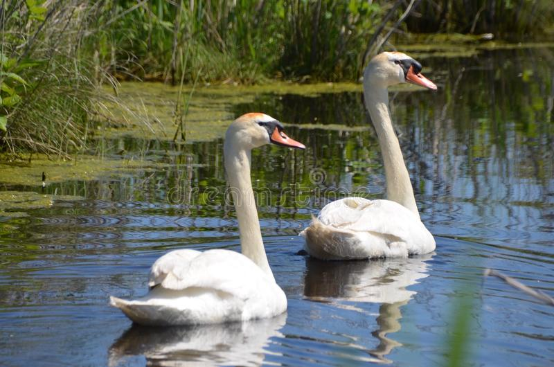 Mute Swans. A mute swan couple, Cygnus olor, swimming together royalty free stock photography