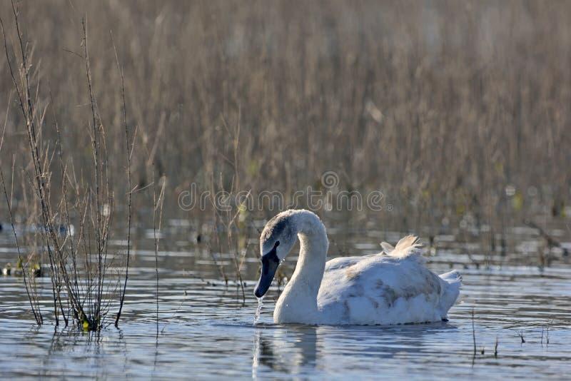 Mute Swan, Creta imagem de stock
