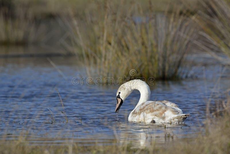 Mute Swan, Creta fotografia de stock