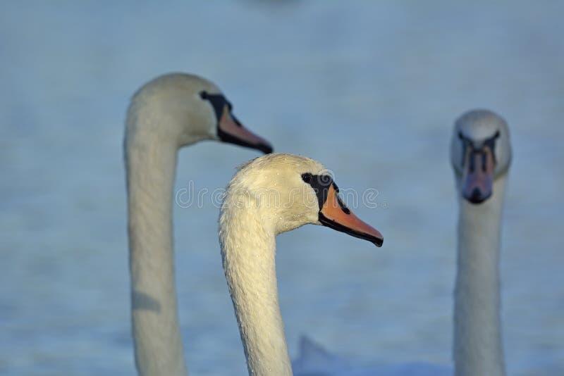 Mute Swan, Creta fotografia de stock royalty free