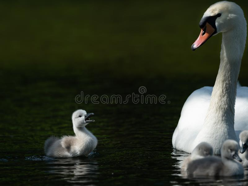 Mute swan and crying cygnet on a sunny day in spring stock photography