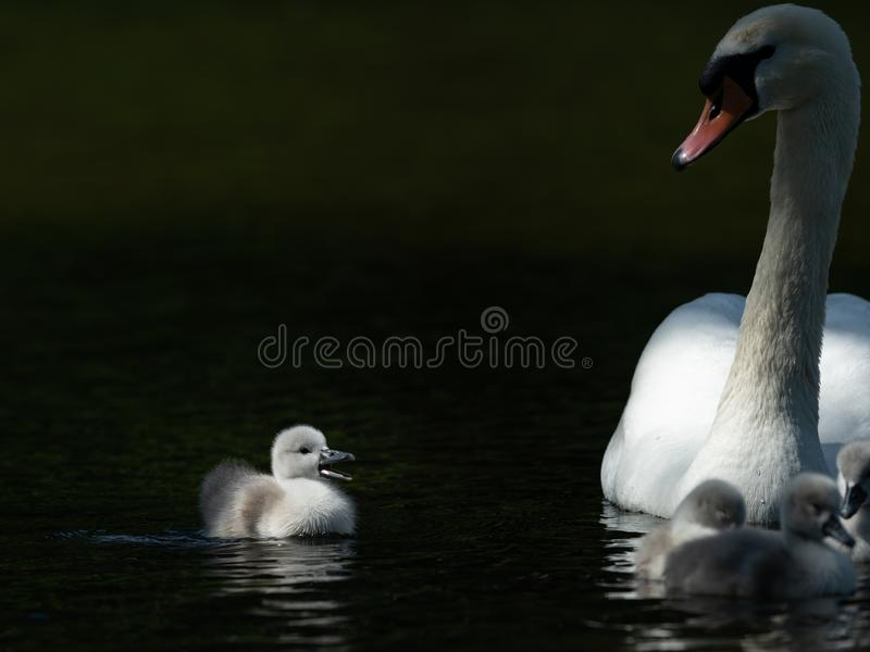 Mute swan and crying cygnet on a sunny day in spring royalty free stock photography