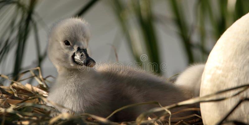 Mute Swan Cygnet On Nest stock photography