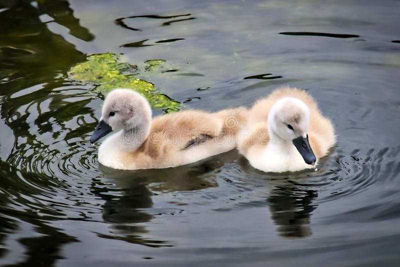 Mute Swan Cygnets. A pair of young Mute swan cygnets swimming on calm water creating ripples stock photography