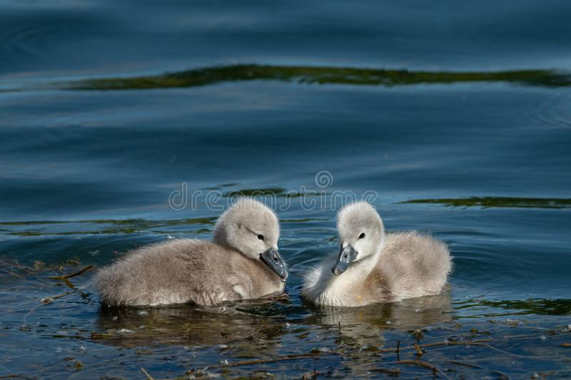 Mute swan cygnets swimming on a sunny day in spring royalty free stock image