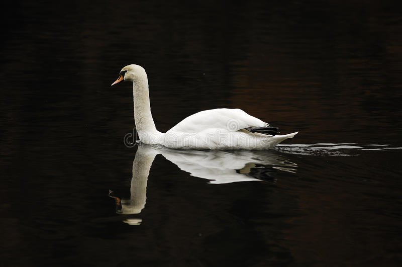 Mute Swan (Cygnus olor) stock photos