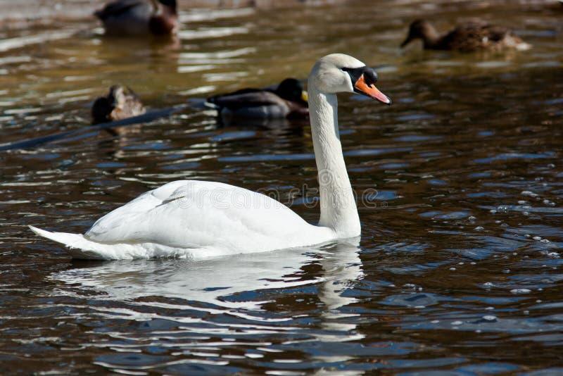 Download Mute swan, Cygnus olor stock photo. Image of profile - 15262360