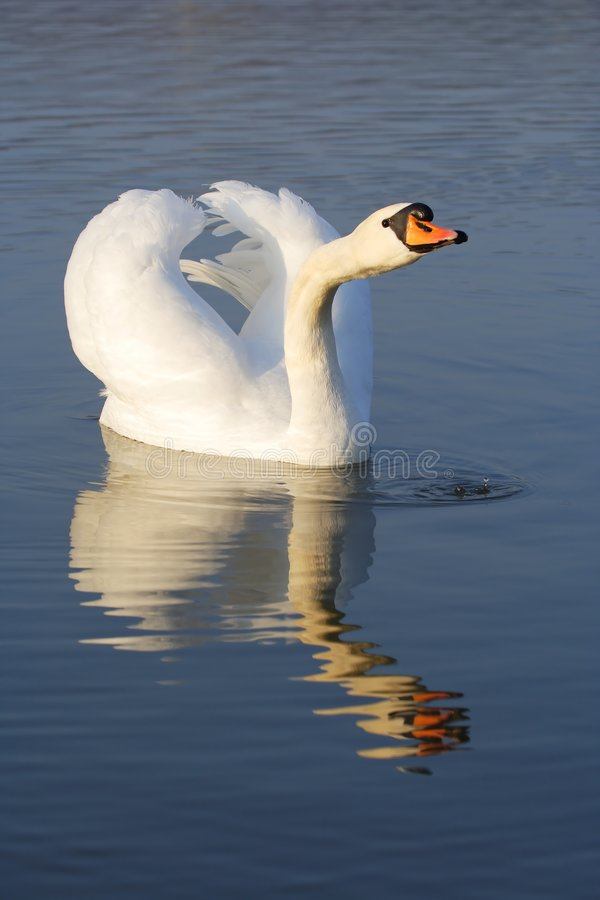 Mute swan - cygnus olor royalty free stock photos