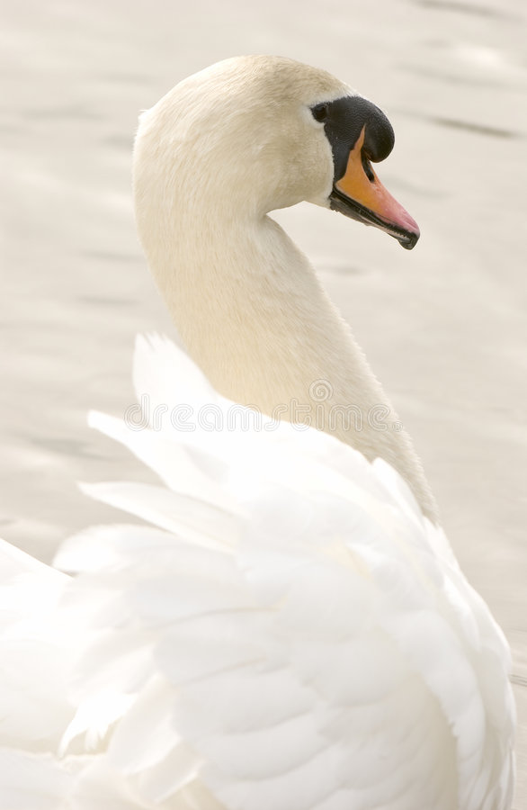 Mute Swan (Cygnus olor) royalty free stock photography