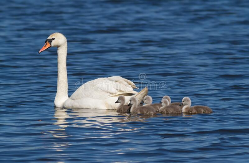 Mute swan, cygnus olor. Adult bird, female and brood of chicks.  royalty free stock images