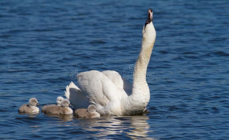 Mute swan, cygnus olor. Adult bird, female and brood of chicks.  stock image