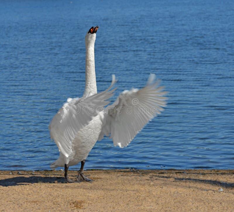 Mute swan Cygnus olor against blue lake stock photography