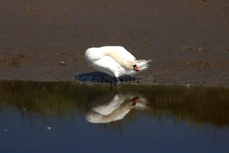 Mute Swan Cygnus Olor com prevenção de reflexos imagem de stock