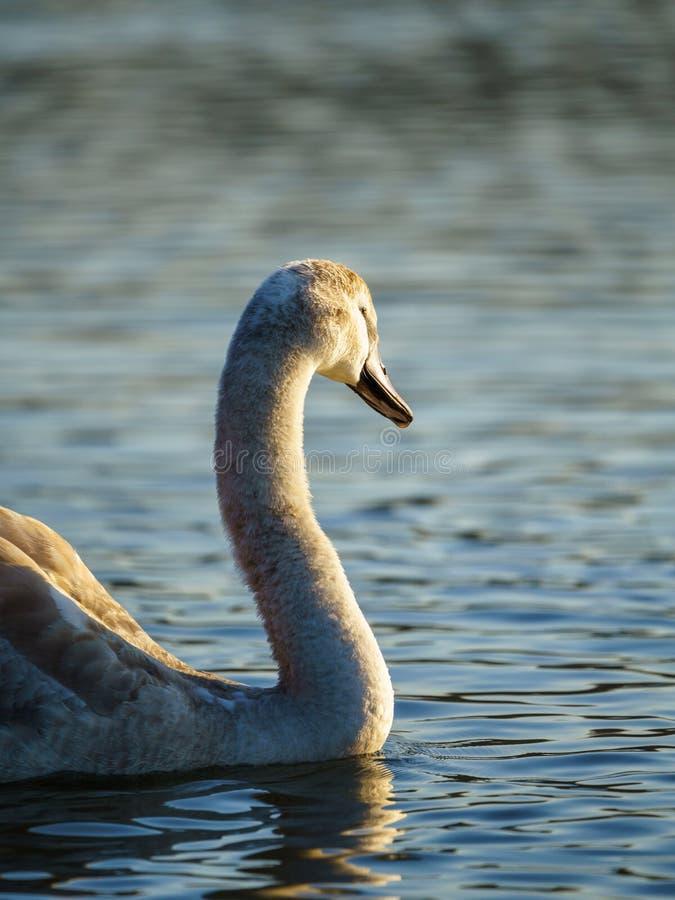 Mute swan (Cygnus olor) cygnet, tomado en el Reino Unido foto de archivo libre de regalías