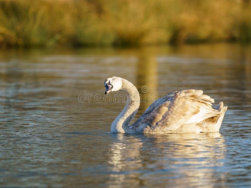 Mute swan (Cygnus olor) cygnet, tomado en el Reino Unido fotos de archivo libres de regalías