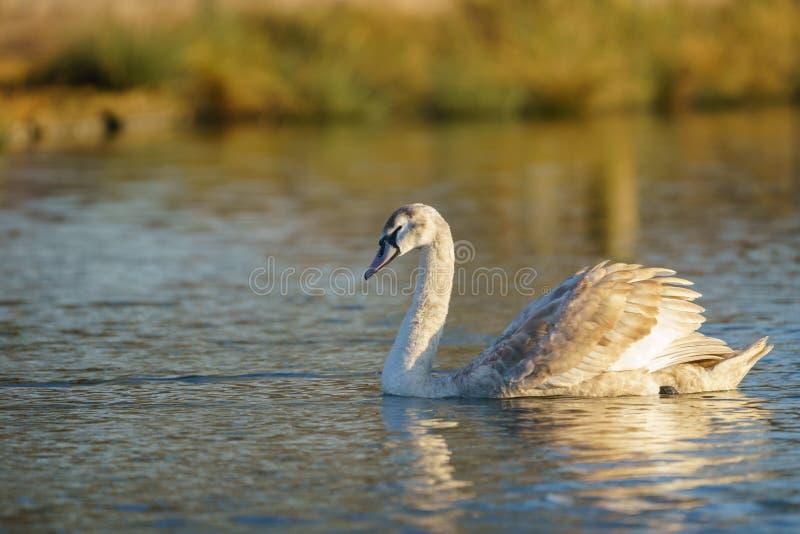 Mute swan (Cygnus olor) cygnet, tomado en el Reino Unido imagen de archivo libre de regalías