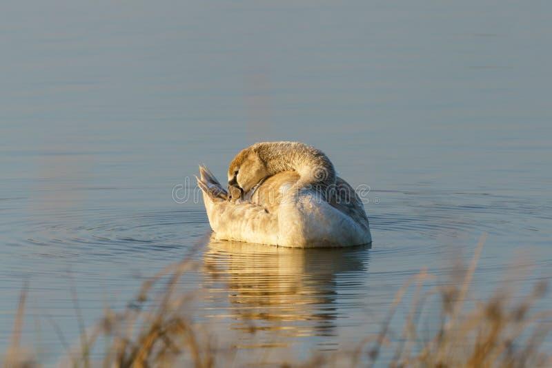 Mute swan (Cygnus olor) cygnet, tomado en el Reino Unido fotos de archivo
