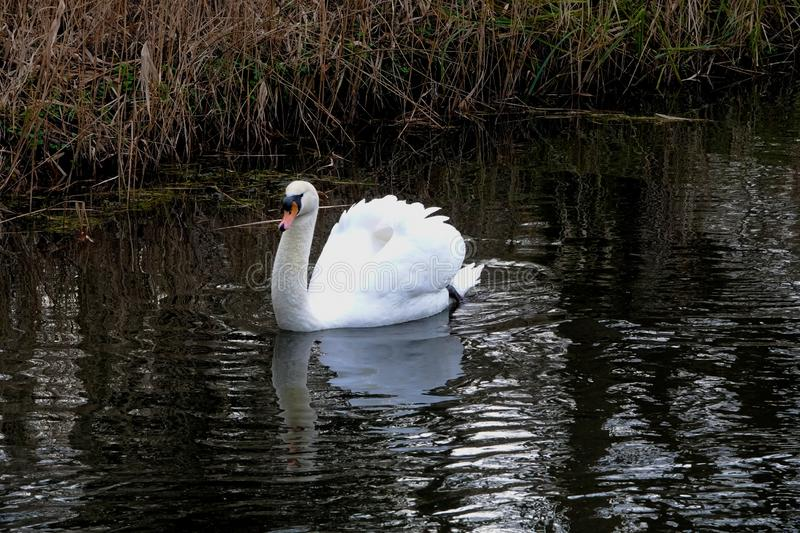 Mute Swan or Cygnus olor. Cygnus olor or Mute swan gracefully gliding on a small river in Norfolk UK stock photography