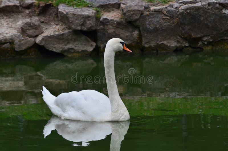 Mute swan. Cygnus olor royalty free stock images