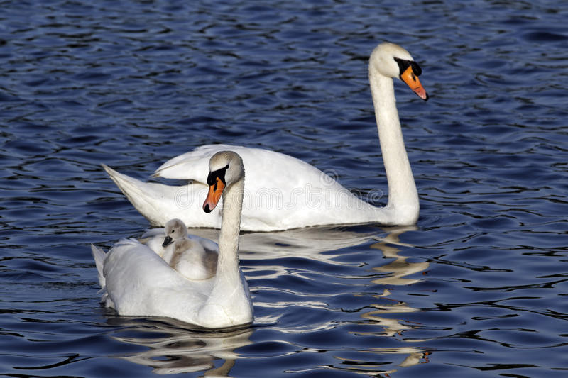 Mute swan, Cygnus olor. Female with young on back stock photos
