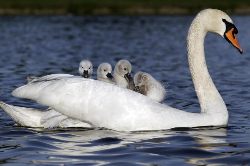 Mute swan, Cygnus olor. Female with young on back royalty free stock image