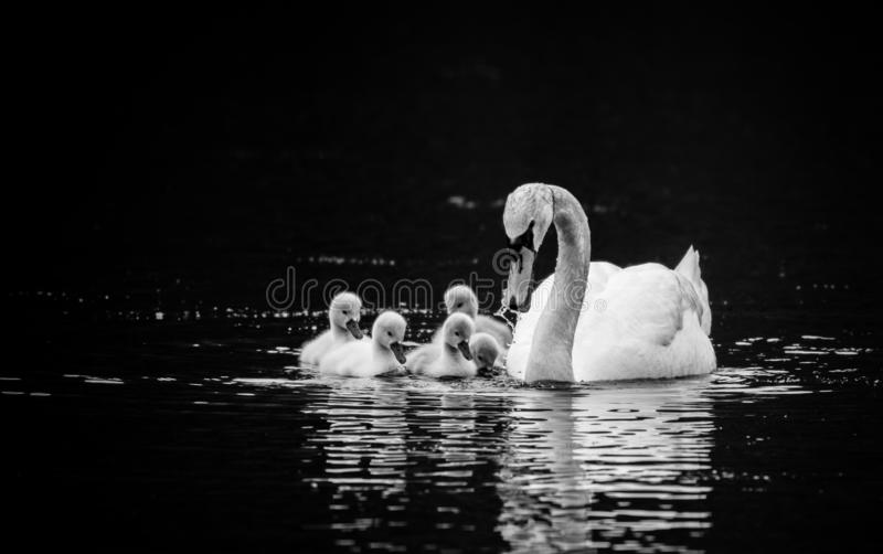 Mute Swan with five young swans on sunny Spring day in calm water, black and white. Mute Swan, Cygnus olor, with five young swans, Cygnets, on sunny Spring day royalty free stock photo