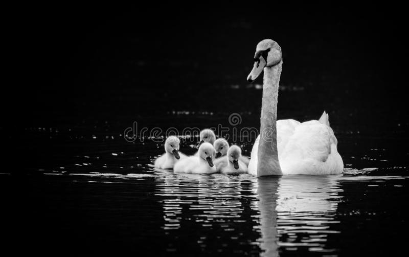 Mute Swan with five young swans on sunny Spring day in calm water, black and white. Mute Swan Cygnus olor with five young swans Cygnets on sunny Spring day in stock photo