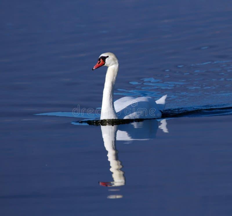 Mute swan, cygnus olor stock photos