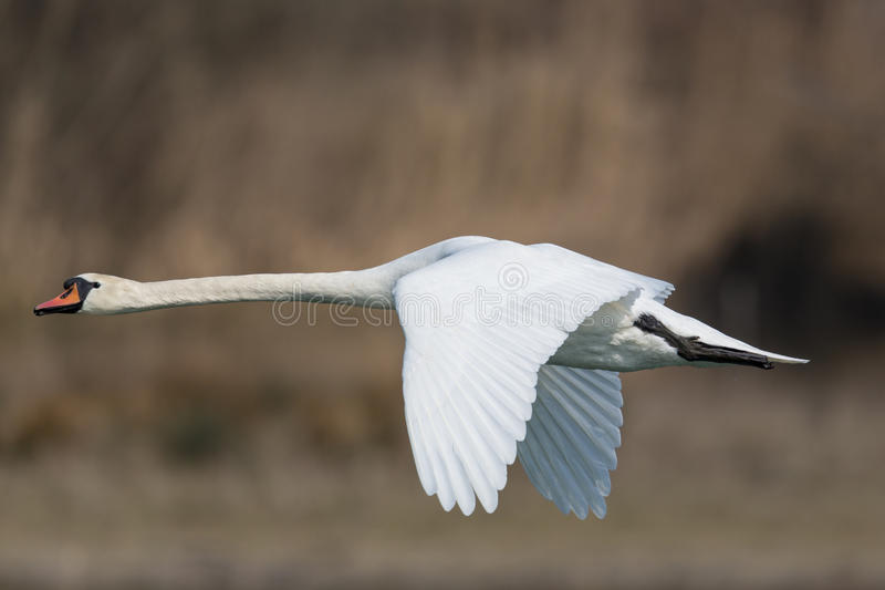 Mute swan (Cygnus olor). Flying royalty free stock photo