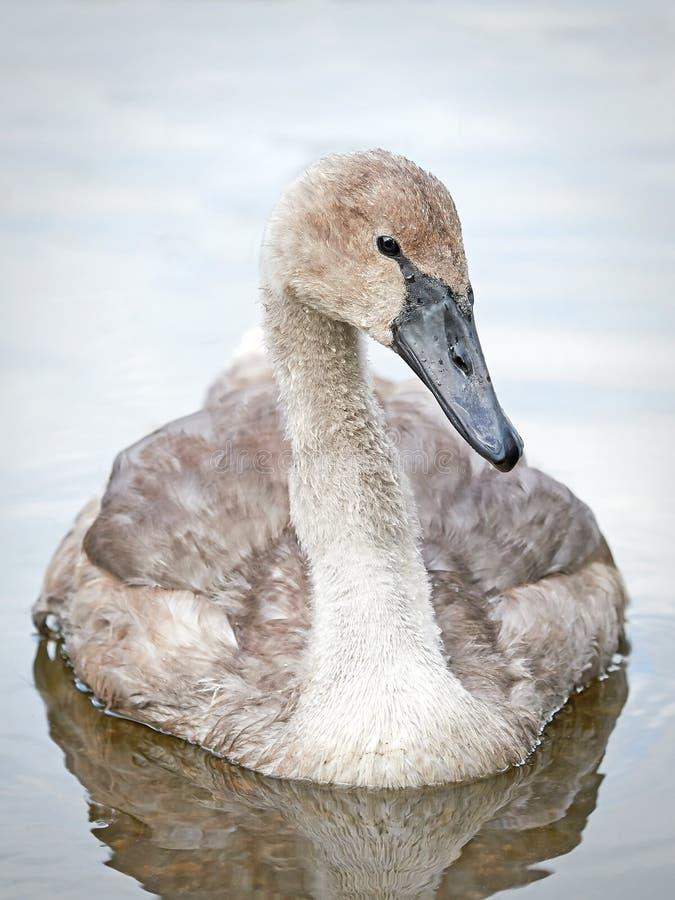 Mute Swan (Cygnus olor) stock photo