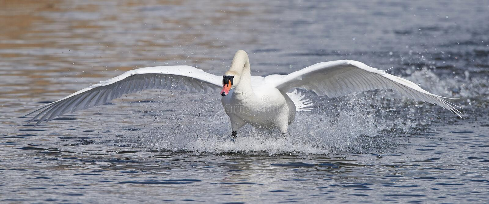 Mute swan (Cygnus olor) royalty free stock images