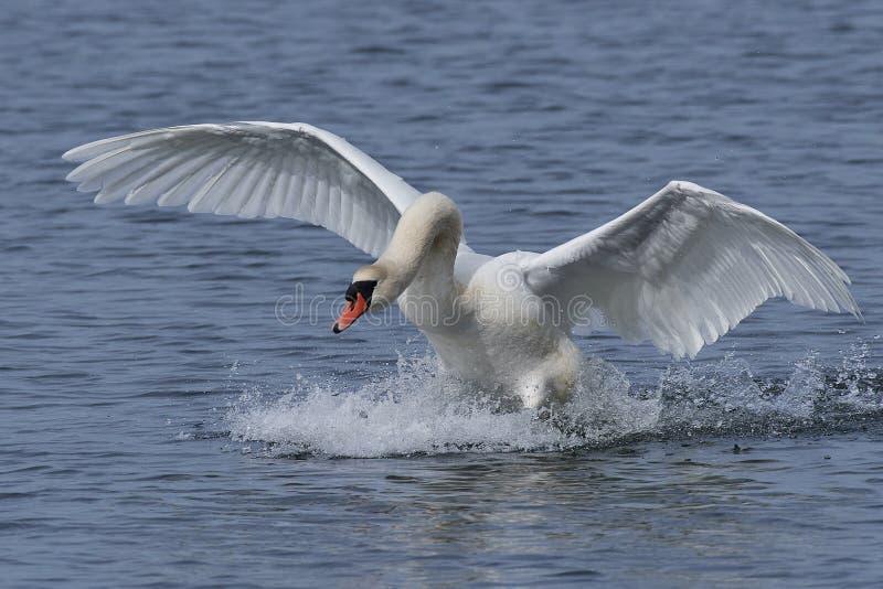 Mute swan Cygnus olor stock photo