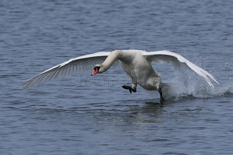 Mute swan Cygnus olor royalty free stock image