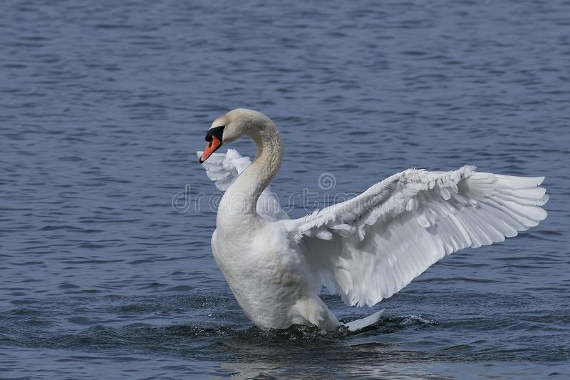 Mute swan Cygnus olor royalty free stock photos