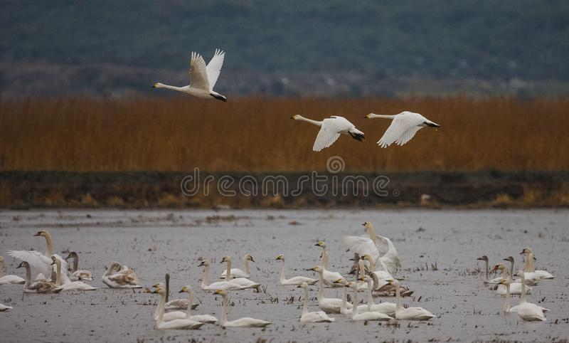 Mute Swan (Cygnus olor). Ä°s a species of bird that lives in wetland stock photos