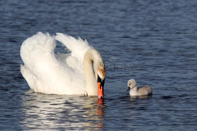 Mute Swan with one Cygnet Swimming on a Blue Lake stock photo