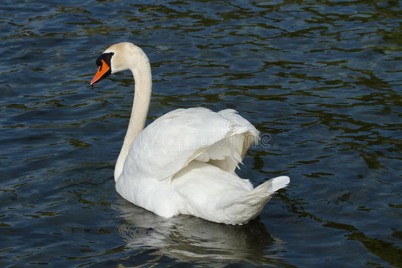 Mute swan (cygnus olor) with open wings royalty free stock image